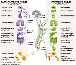 The Nervous System - Sympathetic & Parasympathetic Branches